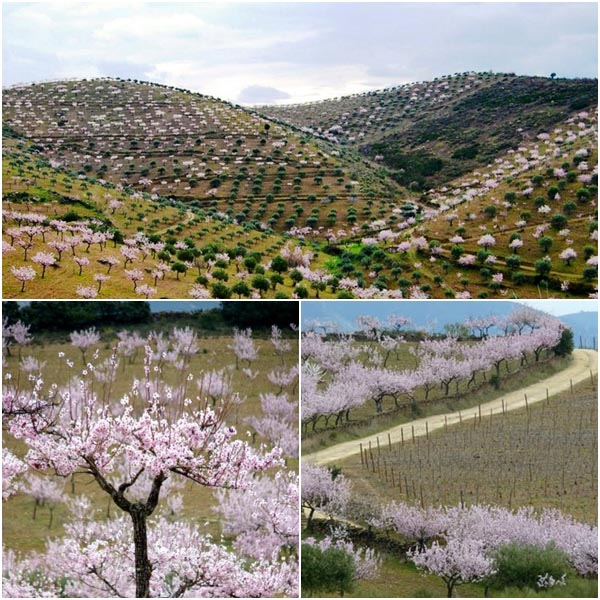 Almond trees - Vila Nova de Foz Coa