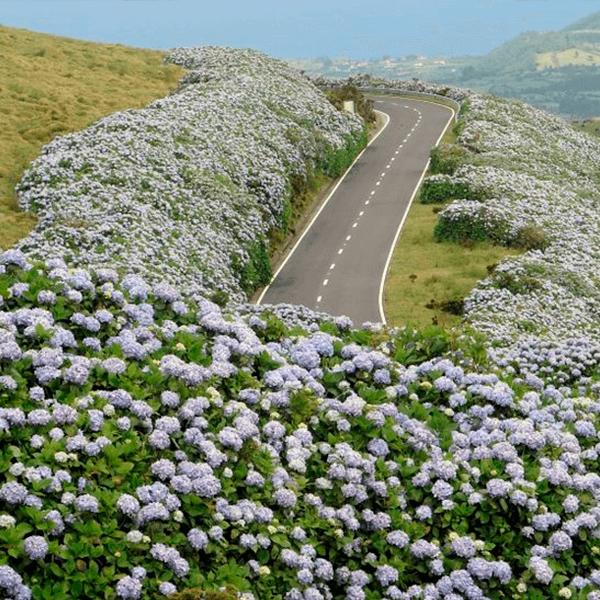 Estrada-dos-Açores-com-hortências---São-Miguel,-Açores,-Portugal.